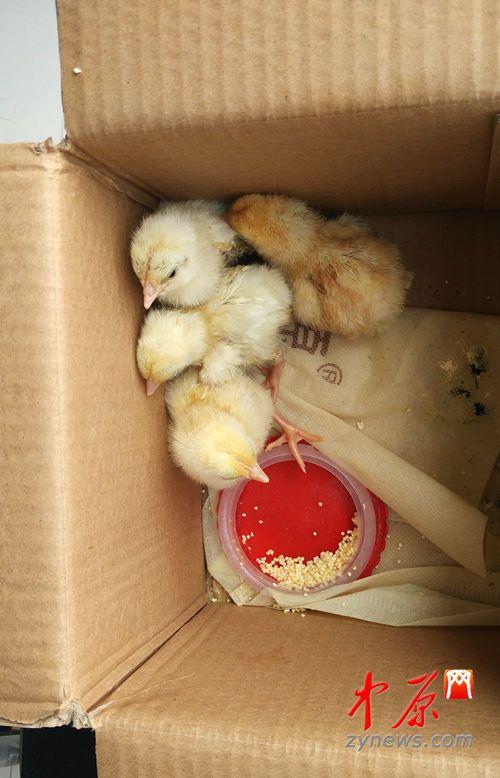 """网友""""老实敦厚的路叔叔""""家孵化的小鸡"""