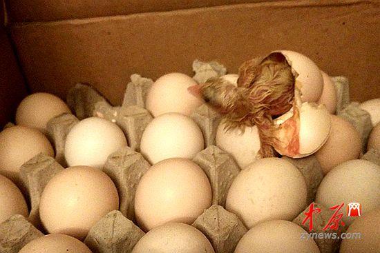 网友拍摄刚刚孵化出的小鸡娃